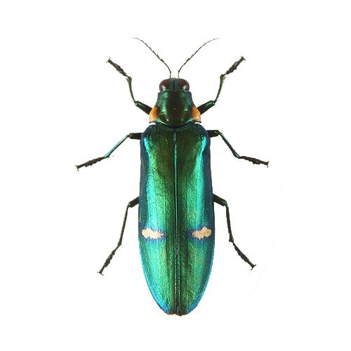 Megaloxantsa bicolor