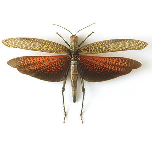 Tropidacris dux