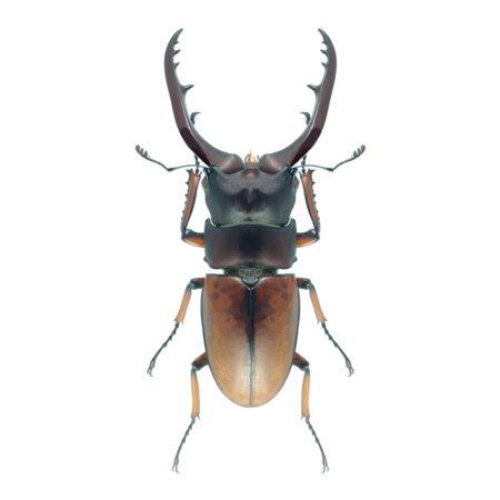 Prosopocoilus astacoides